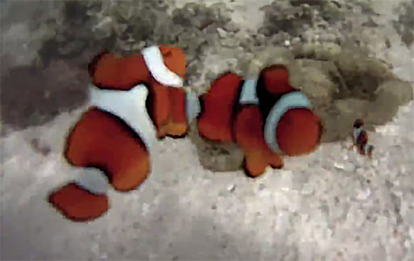 Screencapture of wild A. percula in Munda, Solomon Islands, showing polymorphism with three distinct phenotypes all residing in the same shallow water anemone. Video by Youtube user Mkaliner