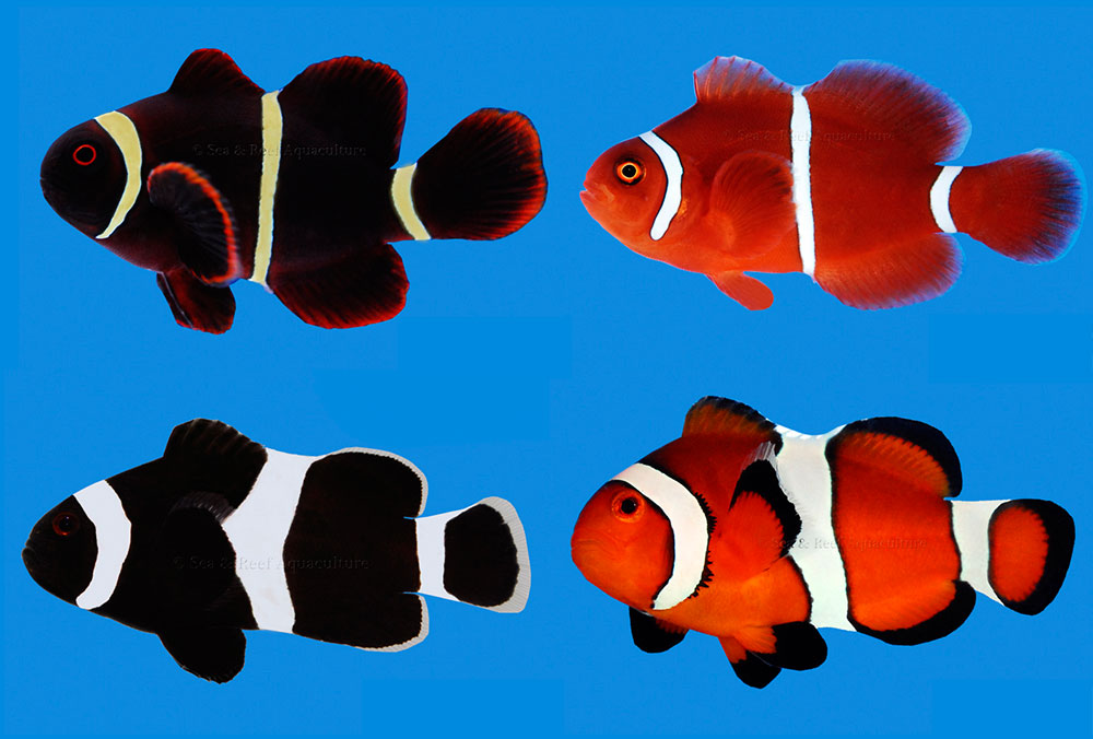 "Aquarists have come to know about certain variants in the closely-related Maroon & Ocellaris group; Gold Stripe Maroon (top left), classic White Stripe (top right), Darwin Black Ocellaris (bottom left) and classic Orange Ocellaris or ""False-Percula"" (bottom right). Sea & Reef Aquaculture routinely produces all these variants, but would you be surprised to know there's still more out there? Images by Sea & Reef Aquaculture"