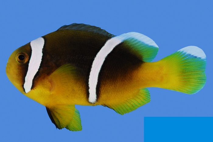 Another example of captive-bred A. sebae, showing the classic two-tone coloration and more elongate polymnus-complex body shape this species is known for (and which helps easily separate this species from A. clarkii). Image by Sea & Reef Aquaculture.