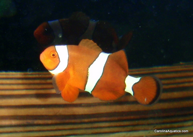 The newest hybrid clownfish, the Citron, produced by Bali Aquarich and available exclusively through Carolina Aquatics