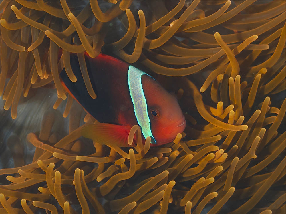 "Amphiprion frenatus, a female ""Tomato Clownfish"", the namesake for this species complex, photographed at Zamboanguita, Central Visayas, Philippines, by Elias Levy 
