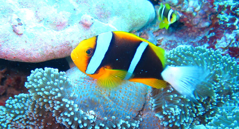 "Amphiprion chrysopterus ""Palau"", one of many variations found within the Clarkii-complex of Anemonefishes, the largest and most diverse species assemblage within the family. Image by Flickr user jeff~, cropped 
