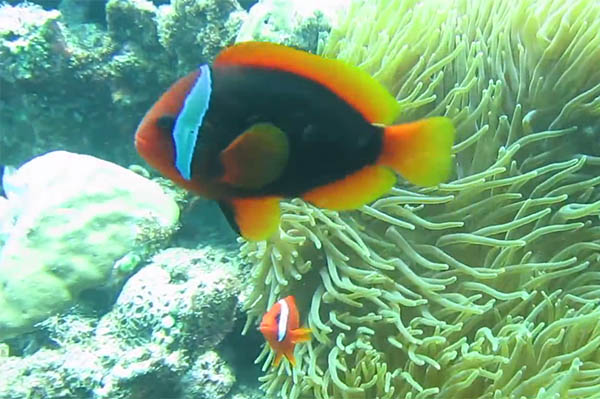A screenshot of the Okinawa Yellow-finned Tomato Clownfish from the Youtube video below by Evan Natwick filmed at Maeda Point.