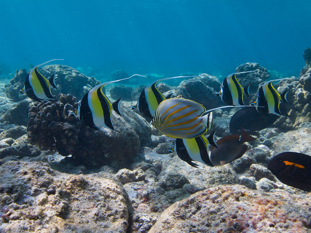 A shoal of Moorish Idols is accompanied by an Ornate Butterflyfish and two surgeonfish species over a Big Island Hawaiian Reef. Image by Ret Talbot