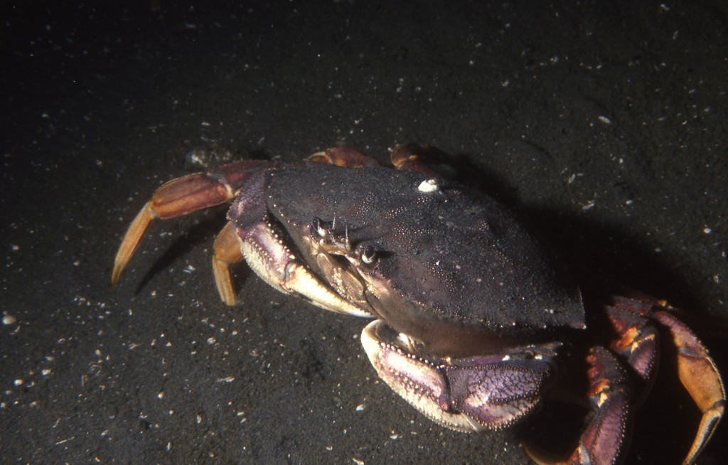 These large crabs are also scavengers on large carrion.