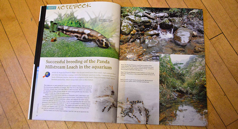 """Successful breeding of the Panda Hillstream Loach in the aquarium"" - you read that right! Friedrich Bitter tells the tale!"