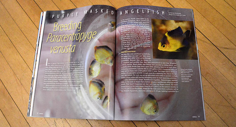 "The groundbreaking tale of Karen Brittian's success rearing the Purplemask Angelfish, Paracentropyge venusta,  using only prepared foods, is retold in ""Purple Maksed Angelfish: Breeding Paracentropyge venusta""."