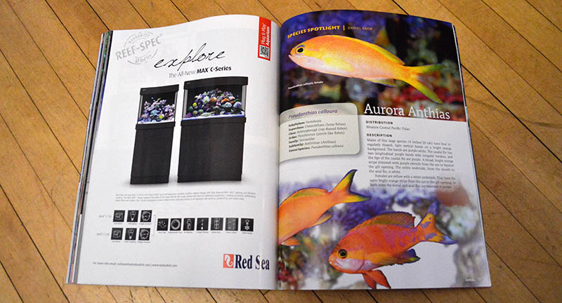 Our species spotlight this month is the stunning Aurora Anthias, Pseudanthias calloura, examined by Daniel Knop.