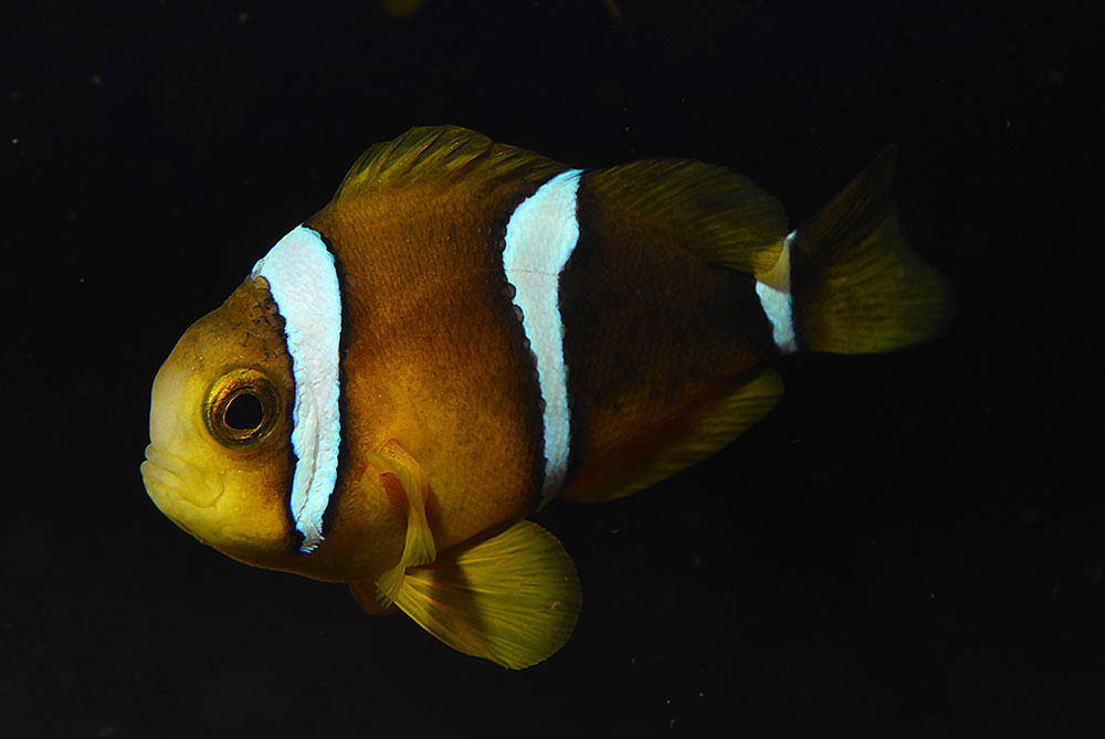 A captive-bred juvenile of A. tricinctus showing the typical coloration for the species. Image by Matt Pedersen.