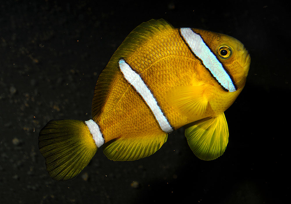 This wild caught individual of A. tricinctus arrived very darkly colored, but over the years has considerably changed color to a very light form. Image by Matt Pedersen.