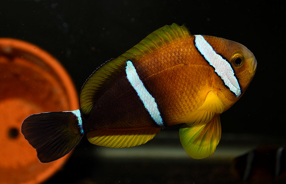 The typical coloration for the non-melanistic version of Amphiprion tricinctus - this wild-collected specimen from the Marshall Islands arrived much more lightly-colored. Image by Matt Pedersen.