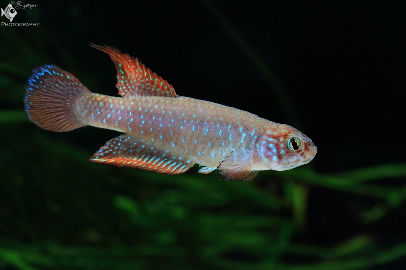 how to raise brine shrimp to adults