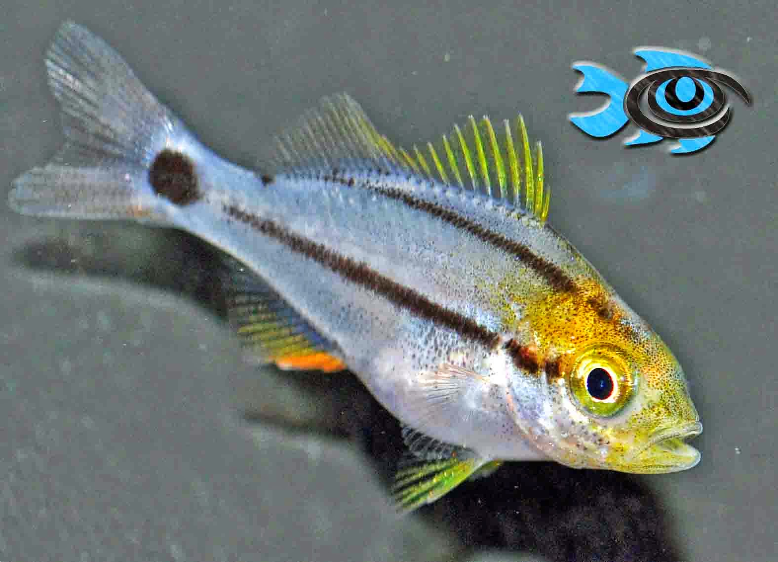 Figure 1. Captive bred Porkfish juvenile available from FishEye Aquaculture.