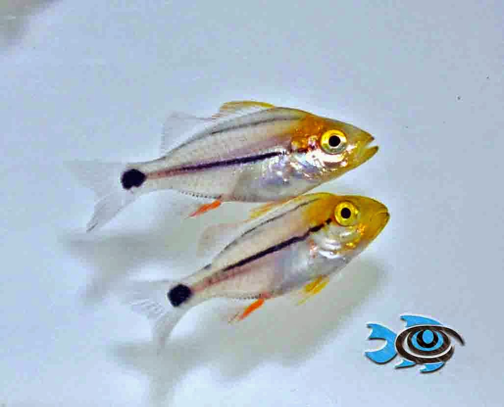 Figure 2. Captive bred Porkfish juveniles available from FishEye Aquaculture.