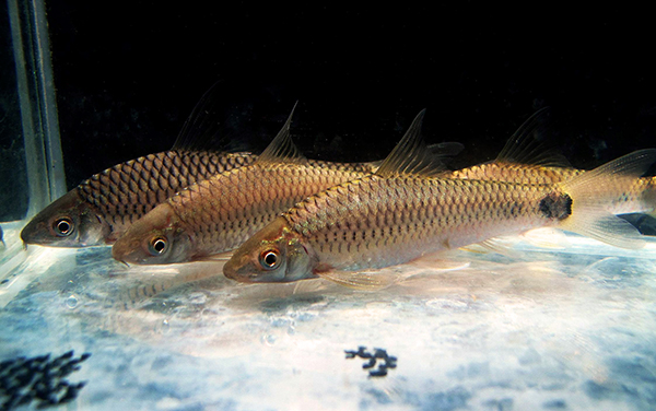 Juvenile C. reticulatus (photo credit Nitipat Bhandumachinda)