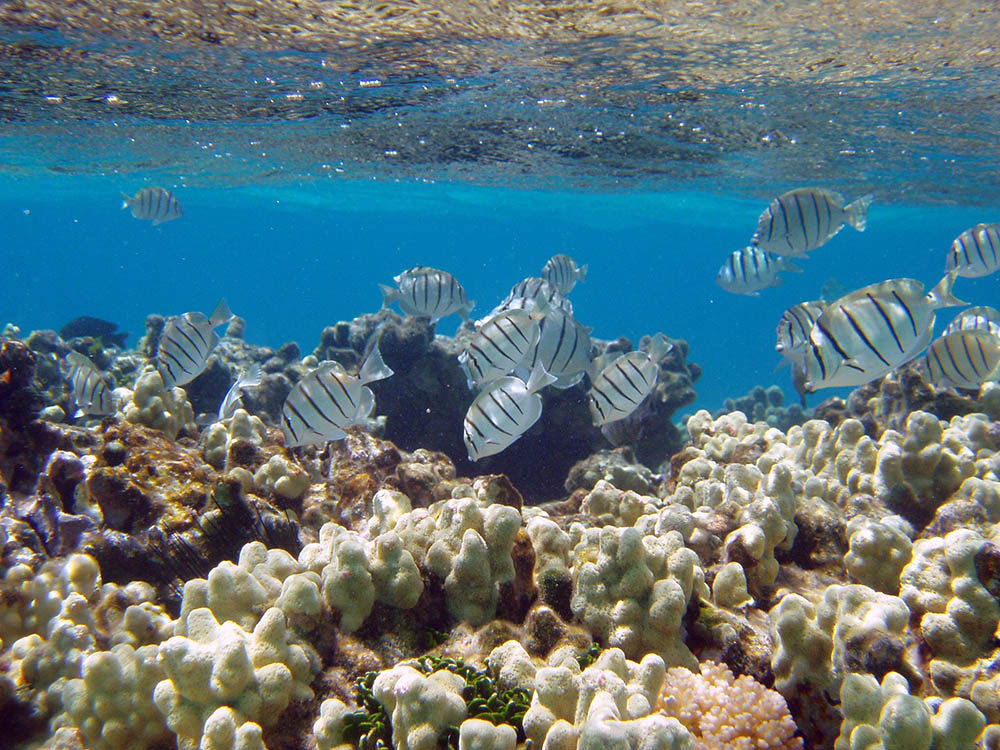 Manini or convict tangs amongst finger coral in shallow water. Hawaii, Papahanaumokuakea Marine National Monument. 2006 Summer.    Photographer: Claire Fackler, CINMS, NOAA.