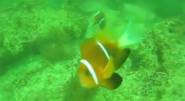 A screenshot from the video of Amphiprion omanensis by Youtuber user Hhobler.