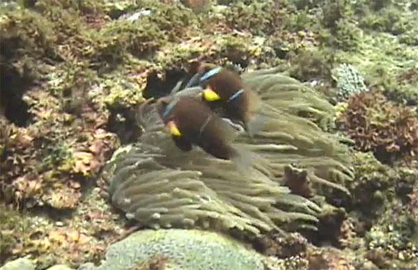 Another screenshot of A. omanensis in the wild, this from the below video by Youtube user csucjj. Start watching at 3:32 to see the clownfish.