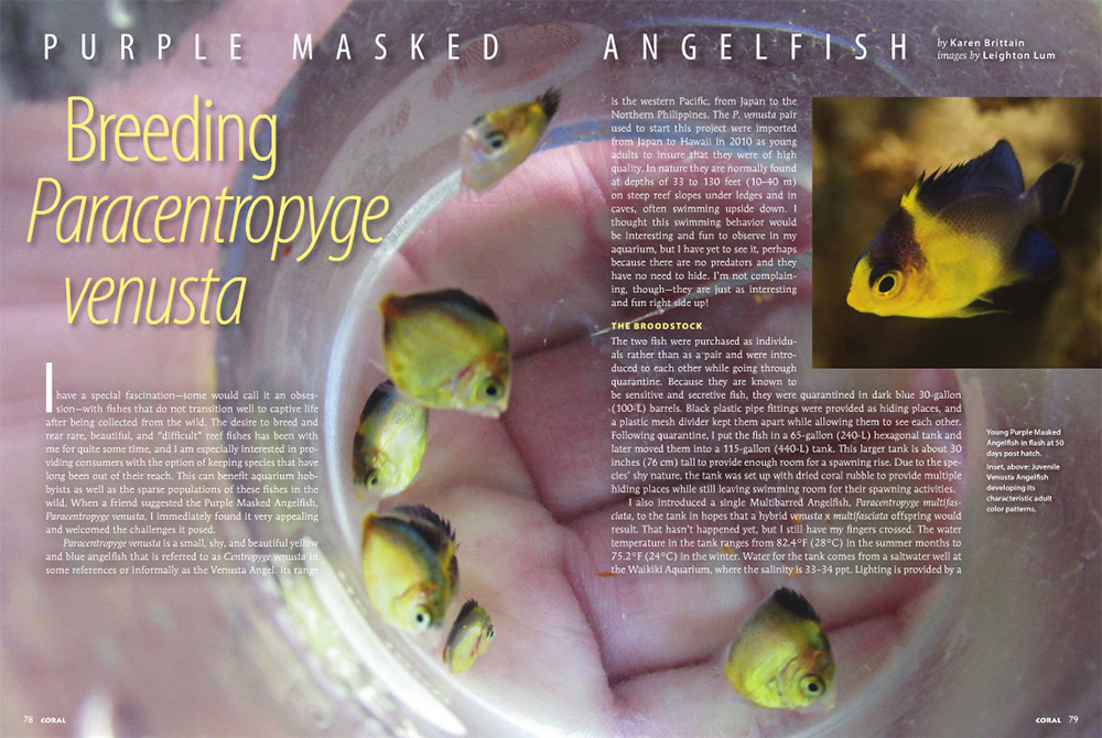 Purple Masked Angelfish: Breeding Paracentropyge venusta - by Karen Brittain