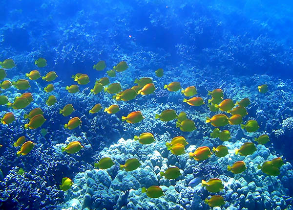 A school of Yellow Tangs, one of the posterchild fishes for ongoing debates over Hawaii's Aquarium Fishery, glides over the reefs of Honaunau Bay. Image by Pat McGrath | CC-BY-2.0