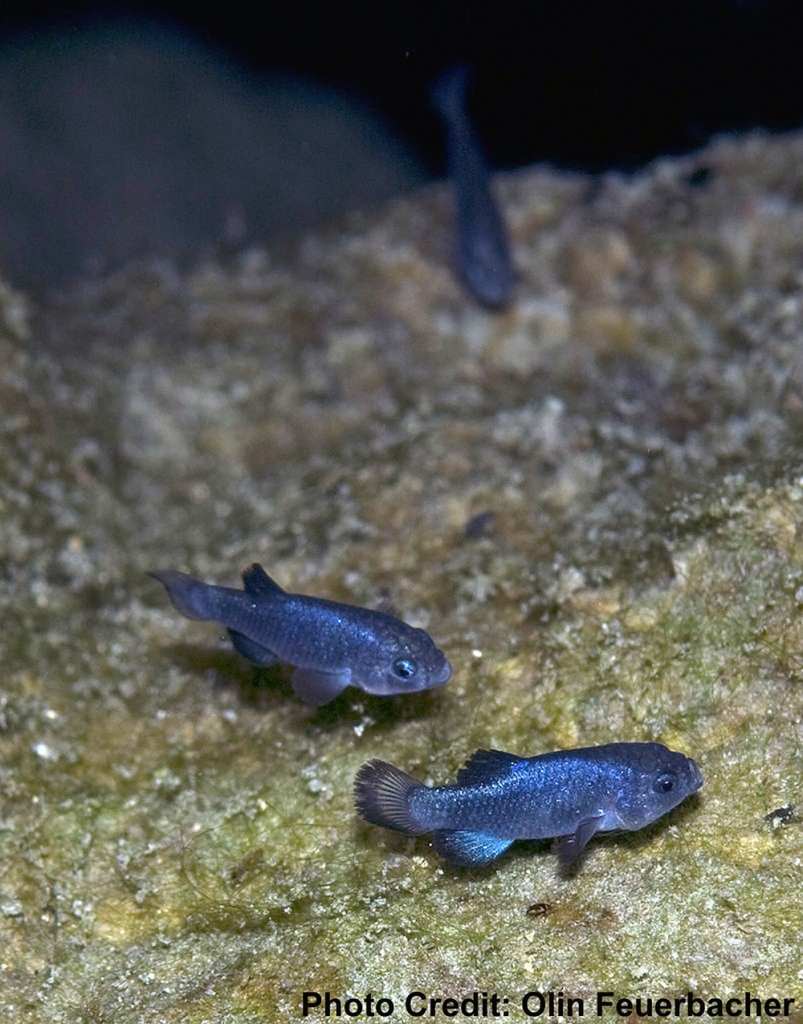 The highly endangered Devils Hole Pupfish - Photo credit: Olin Feuerbacher, USFWS | CC BY 2.0