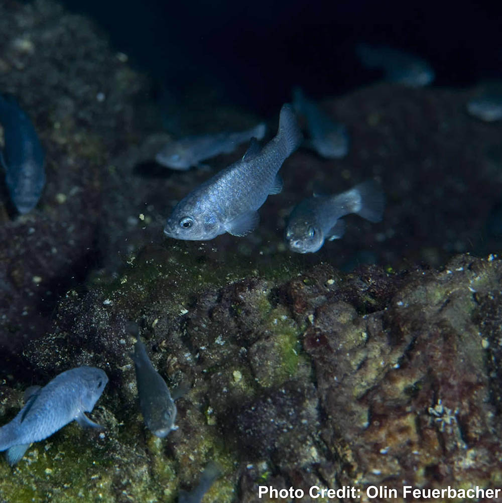 A group of the highly endangered Devils Hole Pupfish, presumably in their native habitat. Image by Olin Feuerbachr / USFWS | CC BY 2.0