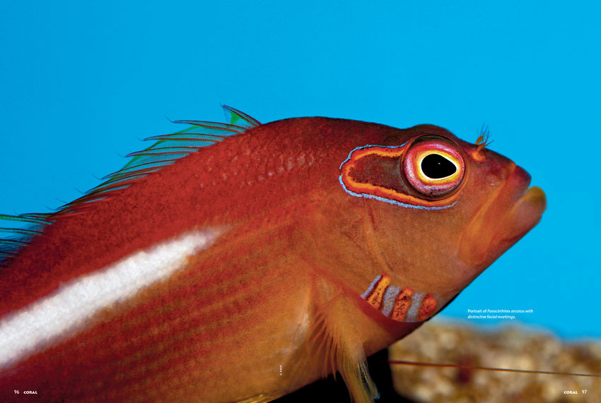 Species Spotlight: Arc-eye Hawkfish