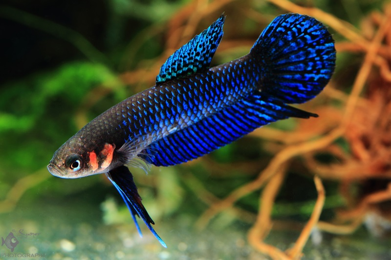 "Their peculiar ""two line beauty mark"" on their cheeks of Betta hendra make them look even more dramatic."