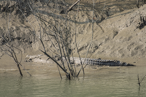 An estuarine crocodile suns itself near shore