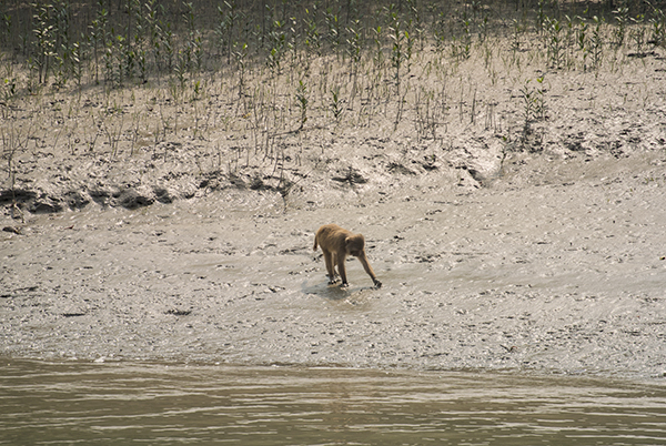 Rhesus Macaques feed largely on fiddler crabs and mudskippers