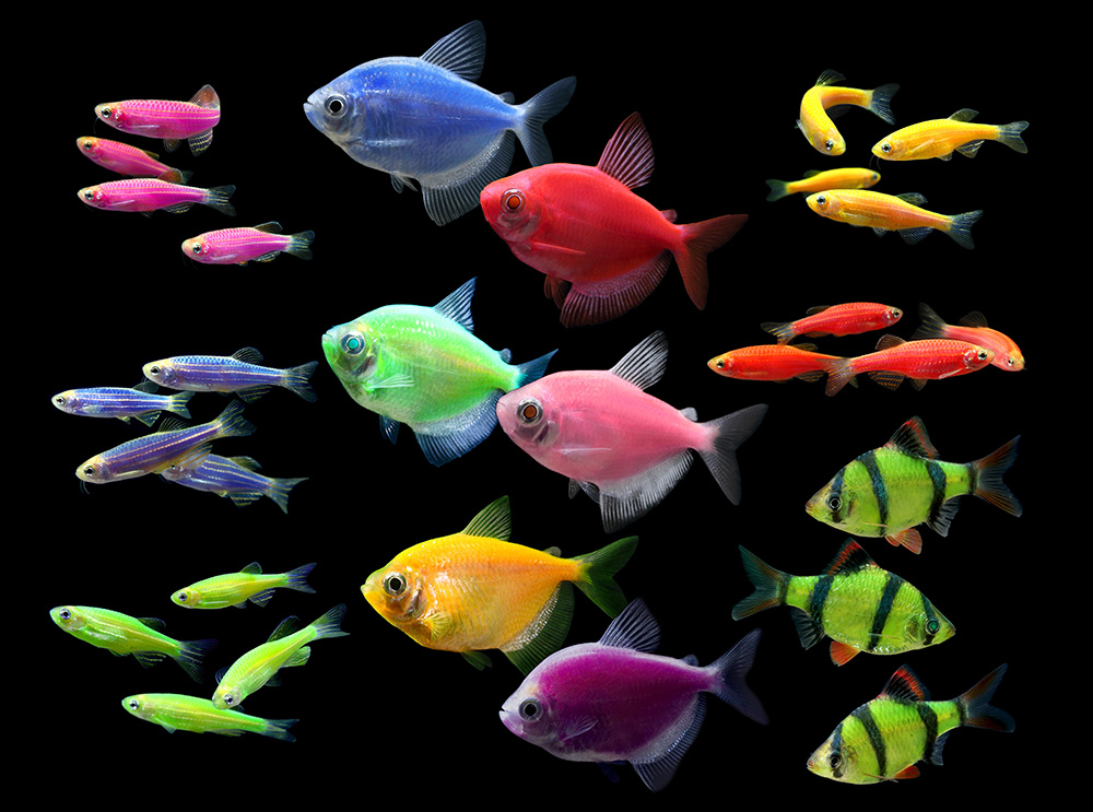 The GloFish Lineup as it looks for spring 2015.