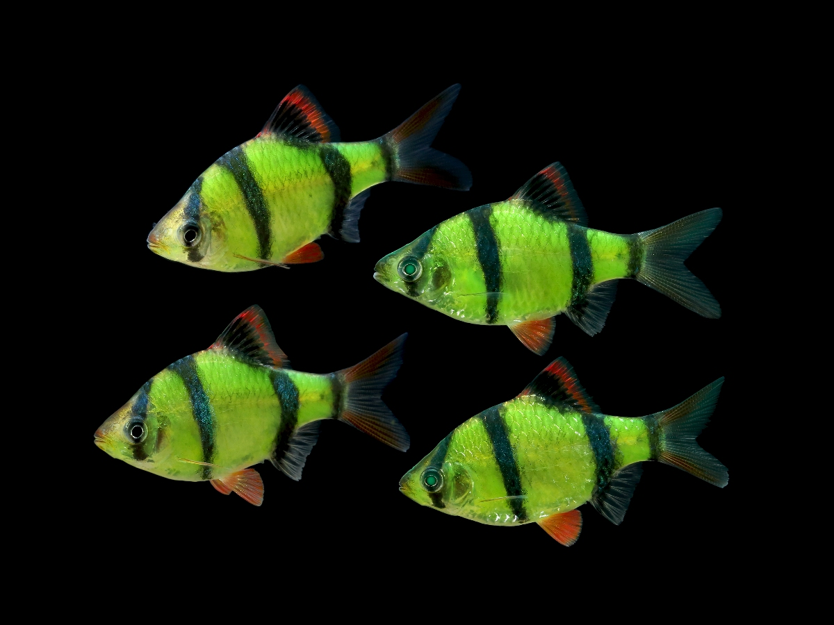 The new Striped Electric Green Barb adds an unusual twist of contrast to existing GloFish®  offerings.
