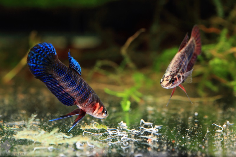Betta hendra pair eating grindal worms