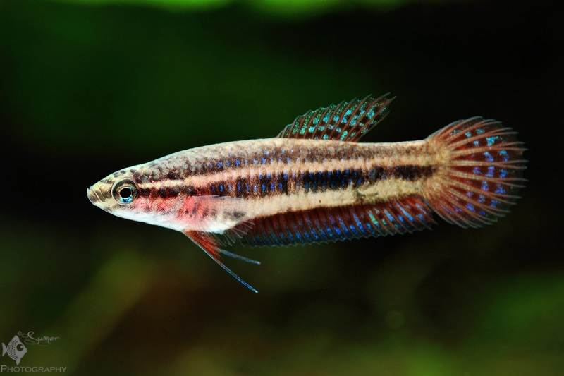 Betta hendra female.