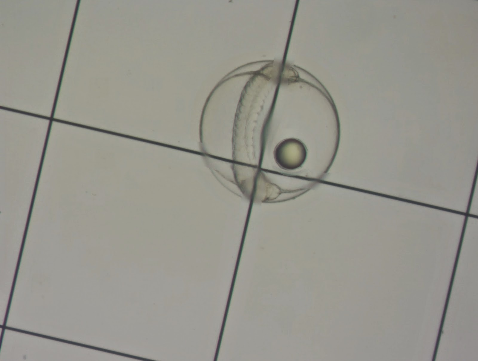 Figure 1. Halichoeres melanurus egg on a 1 mm Sedgewick Rafter cell.