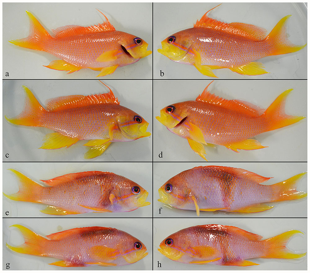Fig 4. Individual Pseudanthias squamipinnis (7.3 ± 0.8 g) 30 h following the introduction of 15 Neobenedenia sp. oncomiracidia. Photos are of left and right lateral sides of two representative fish from the experimental treatment, with shrimp (a-d), and the control, without shrimp (e-h). Image courtesy PLOS ONE  doi:10.1371/journal.pone.0117723.g004