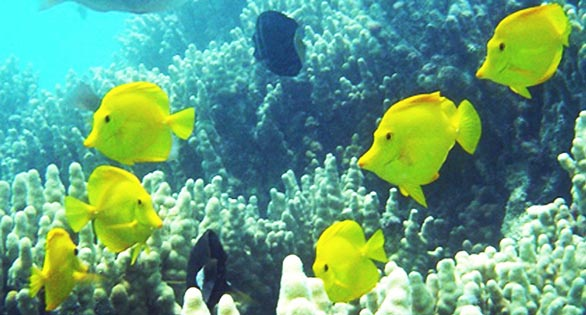 Yellow Tang off the Kona Coast of the Big Island of Hawaii.  NOAA Fisheries image.
