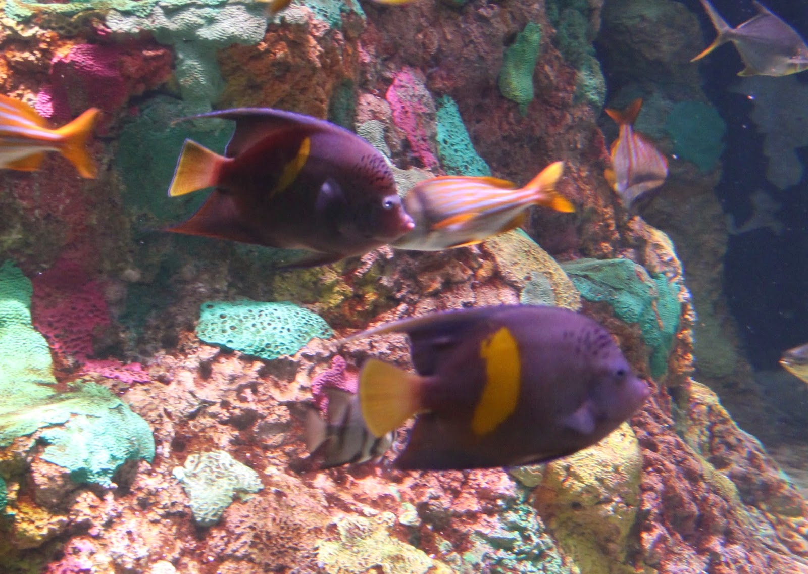 Figure 2.  Two angelfish (2-3 years old) on display at SeaWorld Orlando. Photo credit: Joe Moynihan.