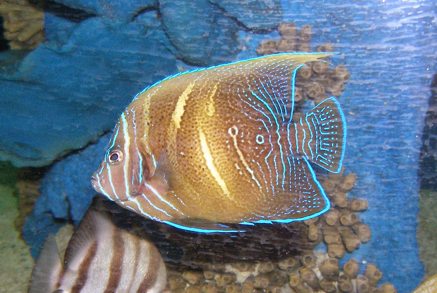 Figure 4.  Angelfish (~2 years old) on display at SeaWorld San Antonio. Figure 4 and 5 are the same fish.  Photo credit: Nick Ireland.