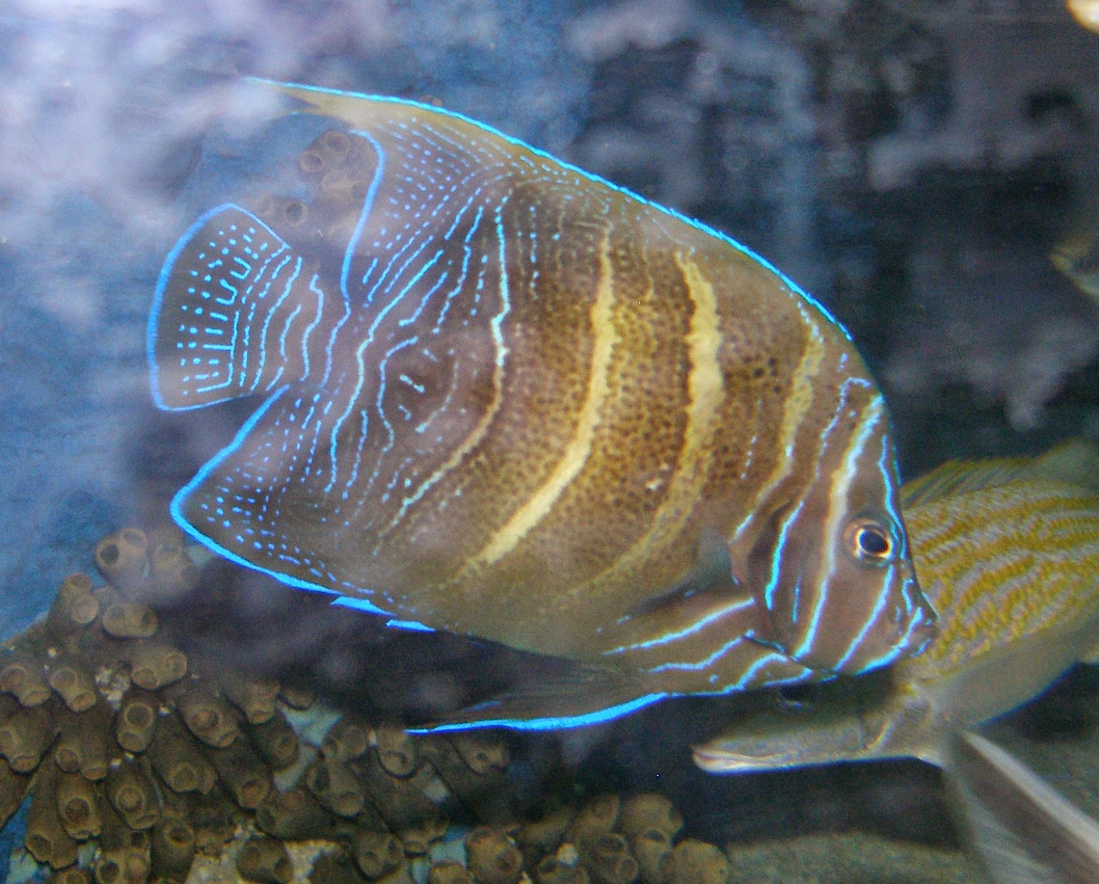 Figure 5.  Angelfish (~2 years old) on display at SeaWorld San Antonio. Figure 4 and 5 are the same fish.  Photo credit: Nick Ireland.
