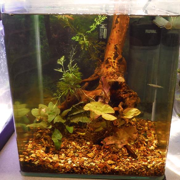 My 8-gallon Tonlé Sap aquarium, just after adding fish. A few halfbeaks can be seen exploring the tank
