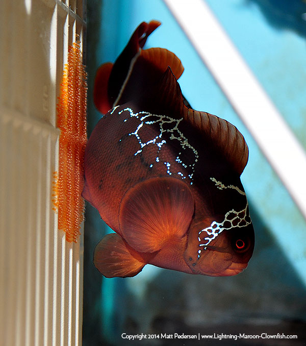 "The original Lightning Maroon, now in captivity over 4 years, has only spawned with another PNG-collected Maroon Clownfish.  All next generation fish produced by Sea & Reef Aquaculture were also restricted to pure PNG provenance.  All ""Lightnings"" and ""Morse Codes"" in the trade were PURE representations of the species and biogeographic variant in ever respect, but all that is about to be forever changed."