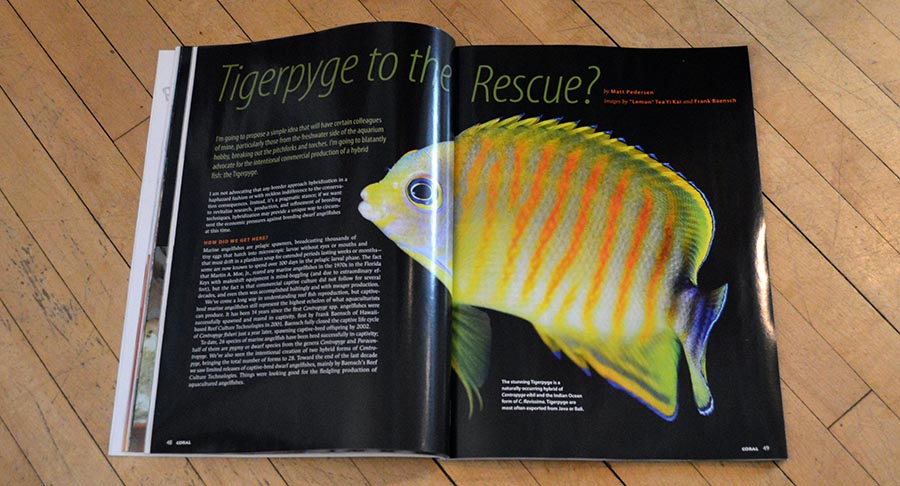 """Tigerpyge to the Rescue?"" CORAL Magazine Sr. Editor Matt Pedersen wonders if hybridization could help revitalize commercial and hobbyist Dwarf Angelfish captive-breeding efforts."