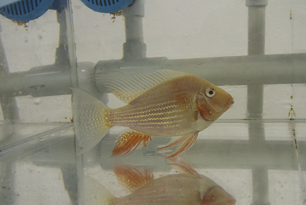 Albino Acarichthys heckeli, a new line-bred form of the South American eartheater, at Segrest Farms