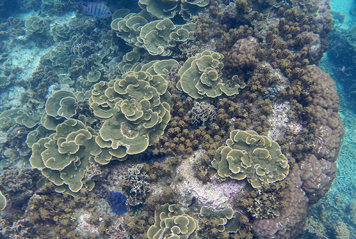 Dense stands of coral and a small group of Tridacna (bottom left)