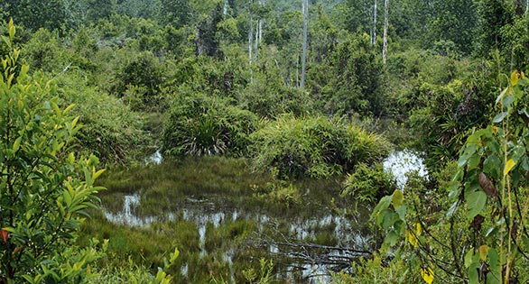 In southern Thailand and northern Malaysia, pristine marshes are few and far between. Habitats such as these extensive swamps are home to many aquarium fishes, including the Red-Tailed Rasbora, Rasbora borapetensis.