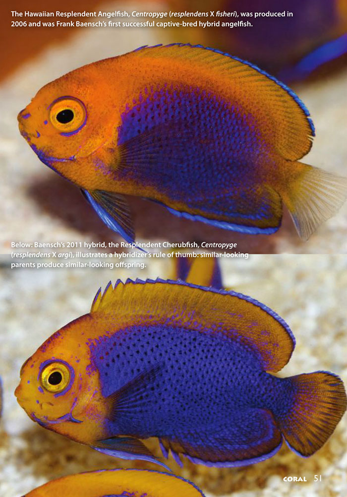 Top: The Hawaiian Resplendent Angelfish, Centropyge (resplendens X fisheri), was produced in 2006 and was Frank Baensch's first successful captive-bred hybrid angelfish. Below: Baensch's 2011 hybrid, the Resplendent Cherubfish, Centropyge (resplendens X argi), illustrates a hybridizer's rule of thumb: similar-looking parents produce similar-looking offspring.