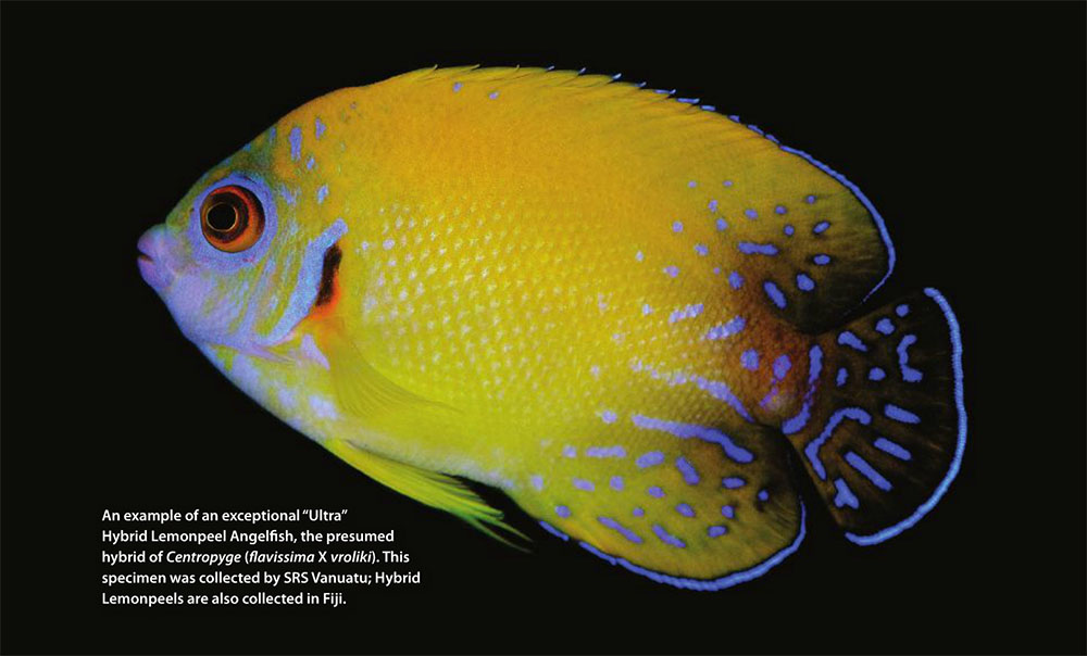 "An example of an exceptional ""Ultra"" Hybrid Lemonpeel Angelfish, the presumed hybrid of Centropyge (flavissima X vroliki). This specimen was collected by SRS Vanuatu; Hybrid Lemonpeels are also collected in Fiji."