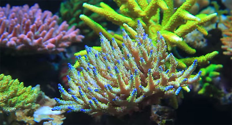 Close-up of Acropora in a stunning aquascaped reef aquarium by Youngil Moon.