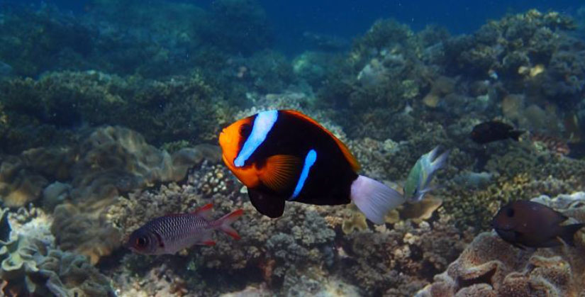 The melanistic colorform of the blue-stripe clownfish (A. chrysopterus) this time showing some mis-barring.